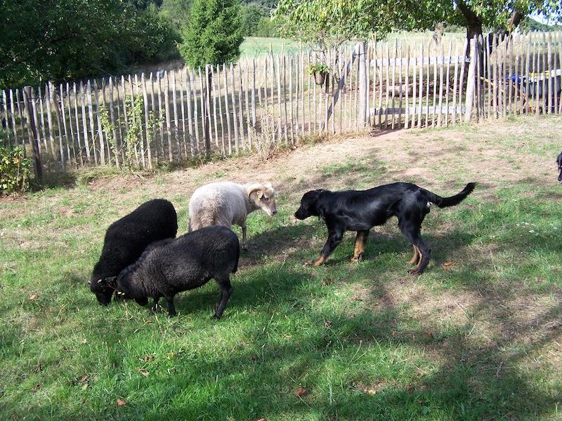 Barla und die Schafe