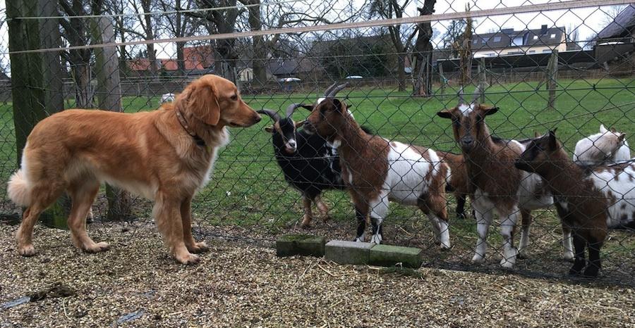 Cajou und ihre ziegischen Nachbarn!